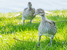 Australian Wood Duck Ducklings
