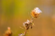 Thistle Flower. Autumn In Blur Background