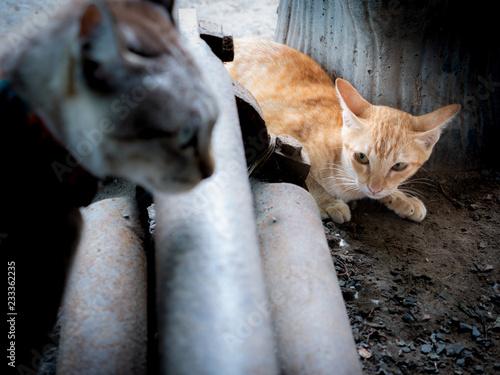 Fotografia, Obraz  The Yellow Kitten was Ready to Run