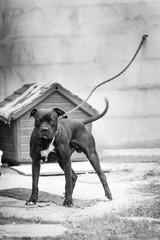 Fototapeta Pitbull nero legato vicino alla sua cuccia