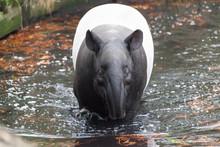 The Male Tapir Swimming In A R...