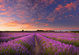 Fototapeta Kwiaty - Lavender field at dawn