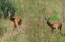 Two Wild Roe Deer