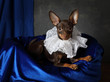 Portrait of a toy terrier puppy in the interior