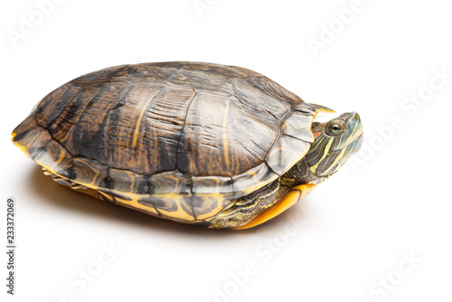 Poster Schildpad side view pet turtle red-eared slider or Trachemys scripta elegans on white background