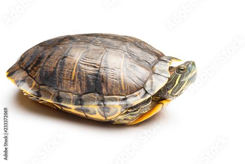 Staande foto Schildpad side view pet turtle red-eared slider or Trachemys scripta elegans on white background