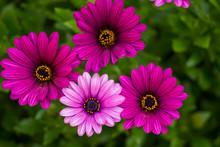 Close Up Beautiful Violet Afri...