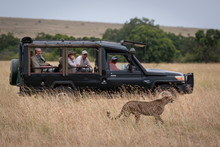 Cheetah Walks Past Truck Full Of Photographers