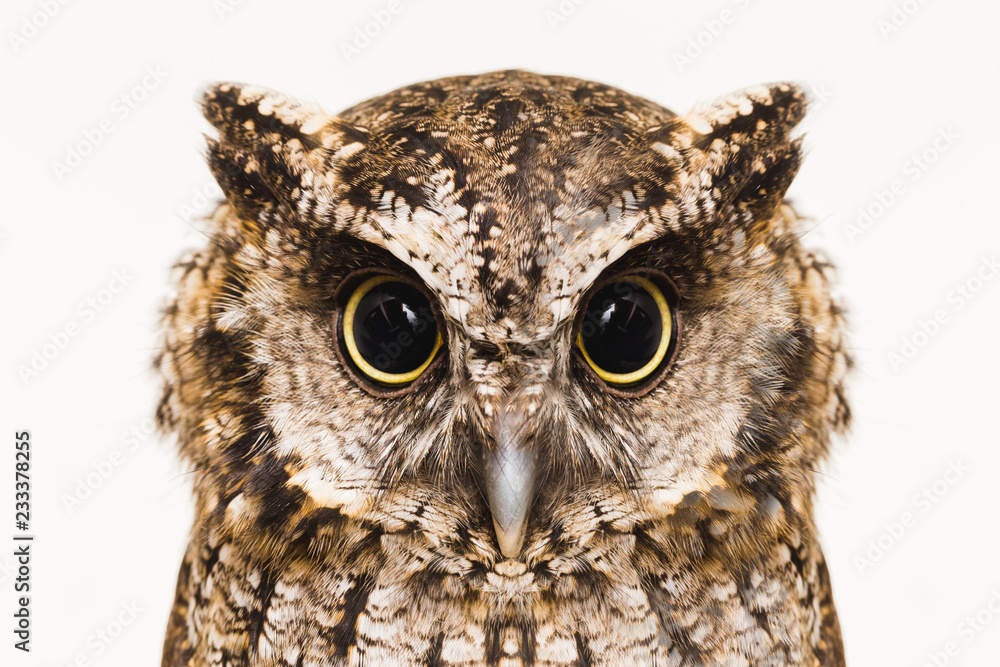 Fototapety, obrazy: Owl face in high resolution, owl isolated.