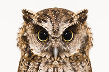 Owl Face In High Resolution, O...