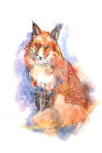 Winter Portrait Of Red Fox Wat...