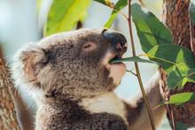 Australia, Queensland, Koala Eating Eucalyptus Leaves