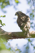 A Close-up Of A Female Sharp-shinned Hawk (Accipiter Striatus) Perched In A Tree On A Branch Hunting For Birds.