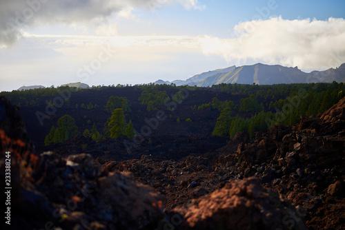 Bosque de pinos sobre roca volcánica en Tenerife