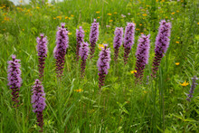 Native Prairie Wildflowers Tak...