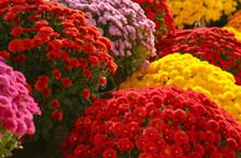 View Of Fresh Beautiful Colorful Chrysanthemum Flowers