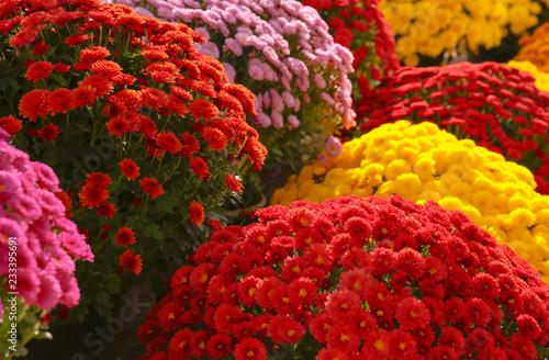 Fotografía View of fresh beautiful colorful chrysanthemum flowers