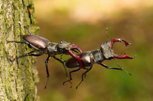 Stag Beetles, Lucanus Cervus Are Fighting For Better Position On The Tree Bark, During Mating Season, Colorful Bokeh Background