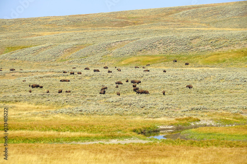 View of a herd of bison in the grass in the Hayden Valley in Yellowstone National Park, Wyoming