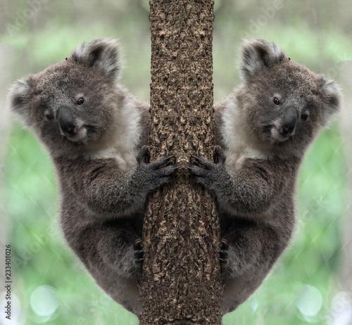 Fotobehang Koala Koala bear on tree.