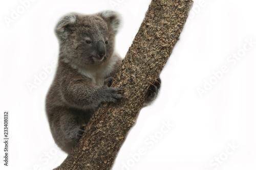 Garden Poster Koala Koala bear on white background.
