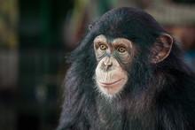 Chimpanzee Cute.