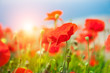 Red poppy flowers in a field at sunrise.