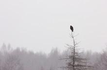 Common Buzzard Sitting On The ...