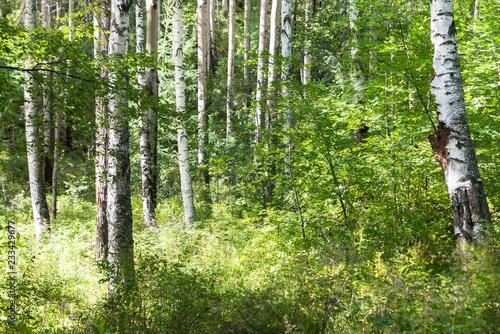 Randonnée en forêt de bouleaux sur le Great Baïkal trail Canvas Print