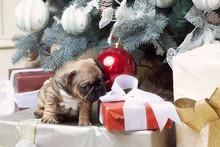 French Bulldog Puppy Christmas...