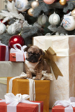 French Bulldog Puppy Christmas Under The  Christmas Tree With Gifts Wishes Happy Holiday And Christmas Eve