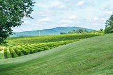 Autumn Vineyard Hills During Summer In Virginia With Green Landscape