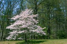Dogwood Tree In Full Bloom In ...