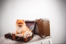 Pomeranian Puppy Dog In The Suitcase. Isolated. Dog Traveler.