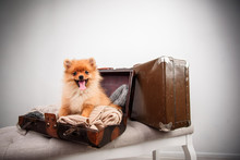 Pomeranian Puppy Dog In The Suitcase. Isolated. Dog Traveler.