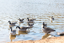 Flock Of Wild Canada Geese In ...