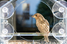 One Female Gray House Finch Bird Sitting Perched On Plastic Glass Window Feeder, Sunny Day, Looking, In Virginia, Sunflower Seeds