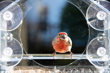 Closeup Front Of One Male Red House Finch Bird Sitting Perched On Plastic Glass Window Feeder, Sunny Day, Looking In Virginia, Eating Sunflower Seeds