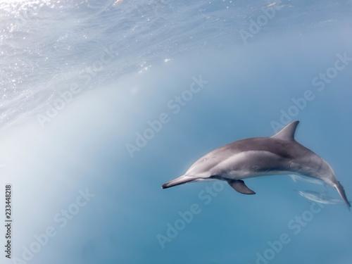 Fotografia  Spinnerdelfin