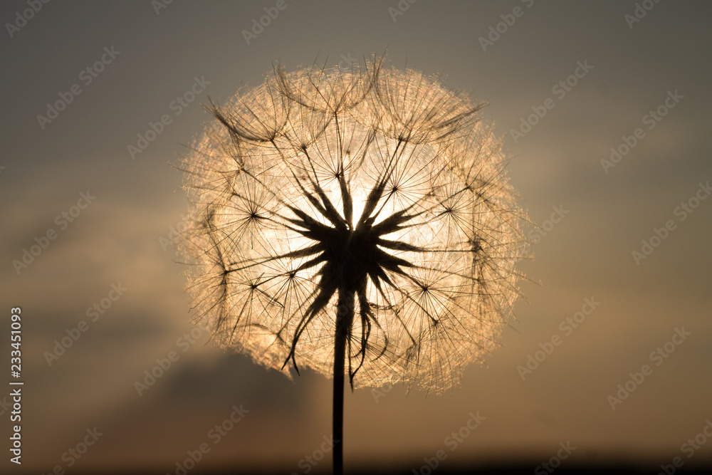 Fototapety, obrazy: dandelion in the field in summer against the blue sky and sun