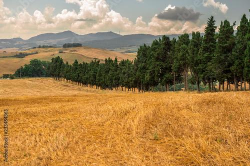 Fotografie, Obraz  Cipressi in toscana e campo dorato