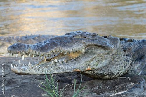 Fotobehang Krokodil American Crocodile in the Tarcoles River, Costa Rica