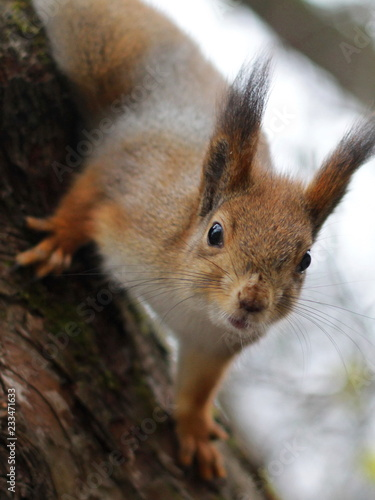 Poster Squirrel Curious red squirrel peeking behind the tree trunk
