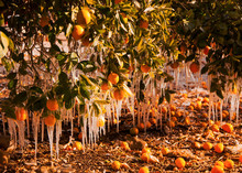 Frozen Oranges In Ojai California