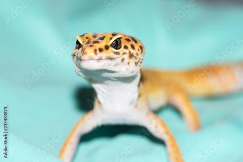 Fotografija Gecko Closeup with Focus on the Reptilian Eyes