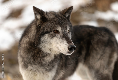 Canvas Prints Wolf Wolf Stare (color)