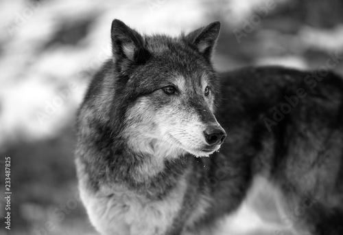 Canvas Prints Wolf Wolf Stare B & W
