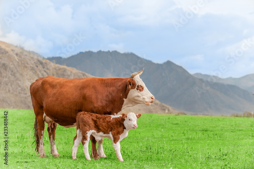 Canvas Cow and calf standing on a green meadow