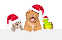 Group Of Pets In Red Christmas Hats Peeking Over Empty White Board. Isolated On White Background. Empty Space For Text