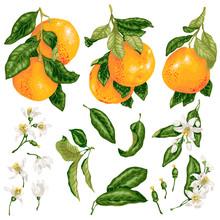 Grapefruit Set In Vector With ...